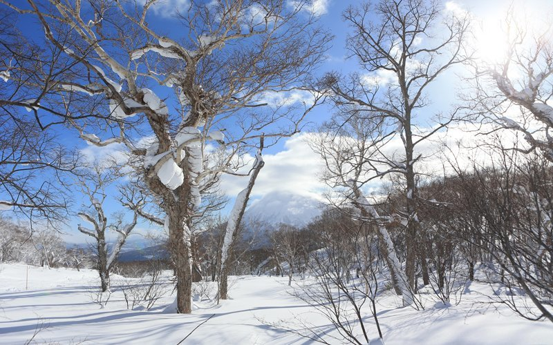 sunny japanese forest in winter with mt yotei